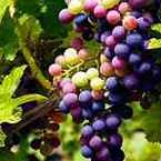 Grape Seed Extract_1